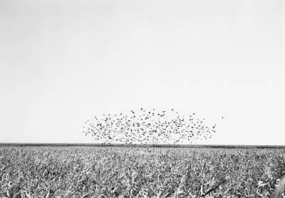 KEVIN O'CONNELL, BIRDS 1 ED. 1/25 silver gelatin print