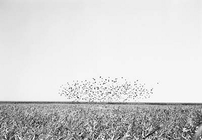 KEVIN O'CONNELL, BIRDS 1 ED. 1/25 silver gelatin print