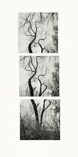 MICHAEL BERMAN, TWO COTTONWOODS pigment print on Kozo paper