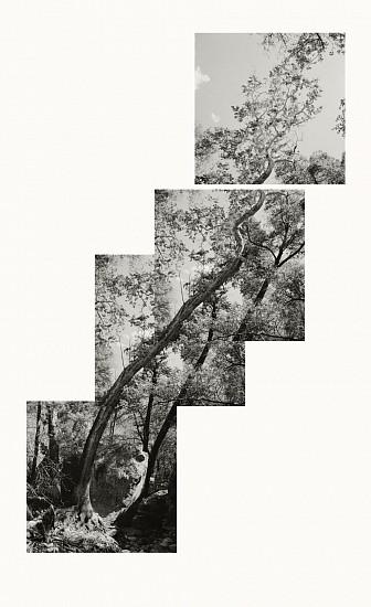 MICHAEL BERMAN, SYCAMORE C2 pigment print on Kozo paper