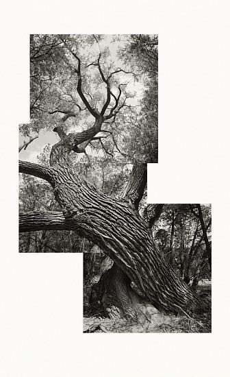 MICHAEL BERMAN, COTTONWOOD Ed. 7 Carbon Pigment Ink on IJ-NKR Niyodo Kozo roll on Natural Paper.